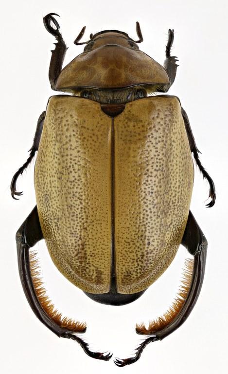 Heterosternus oberthueri 58532zs60.jpg