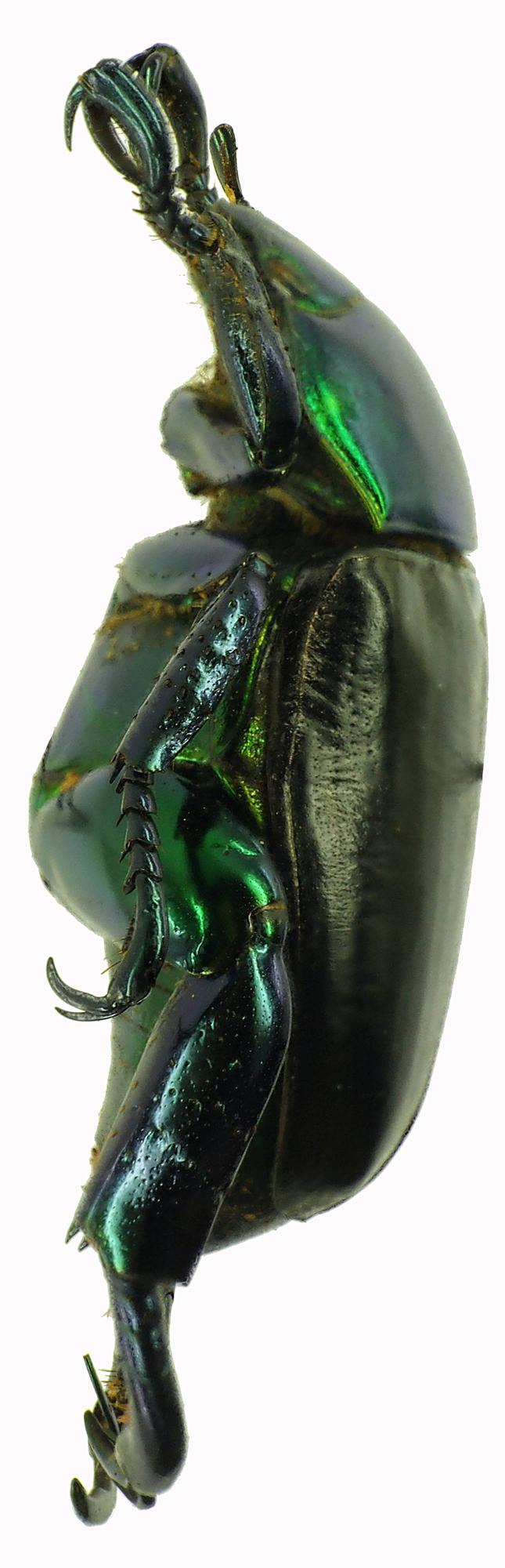 Pelidnota cyanitarsis 28521cz25.jpg