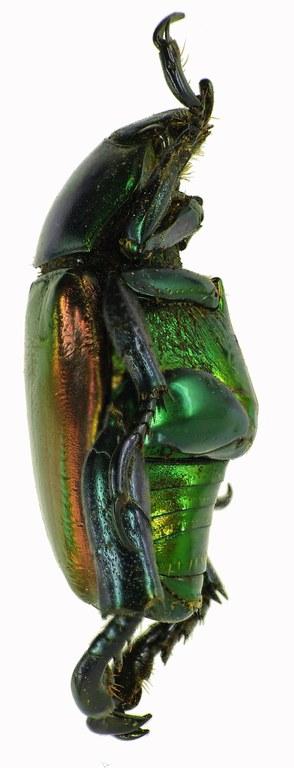 Pelidnota cyanitarsis 28530cz34.jpg
