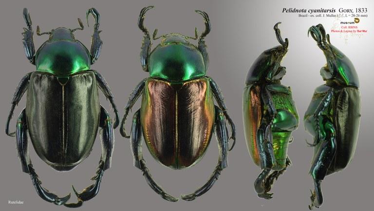 Pelidnota cyanitarsis.jpg