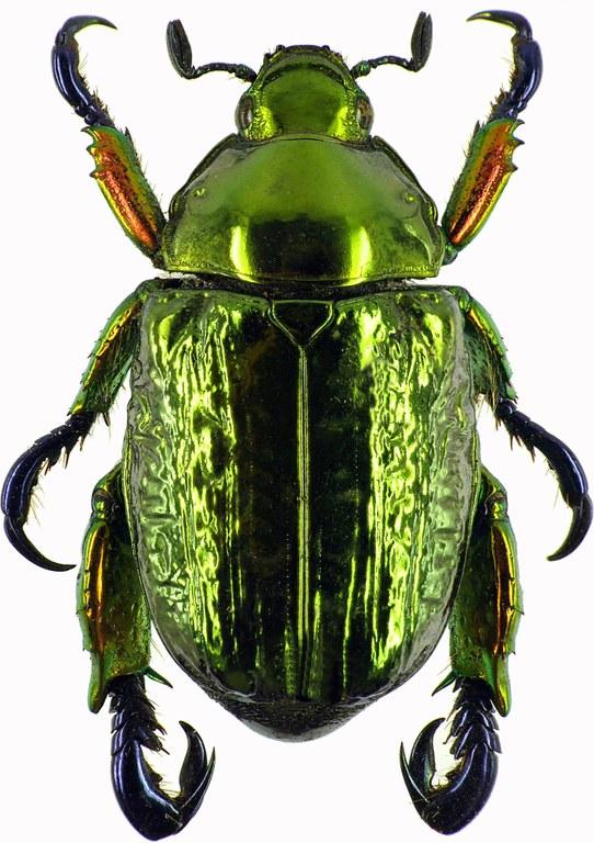 Pelidnota sumptuosa 28443cz47.jpg