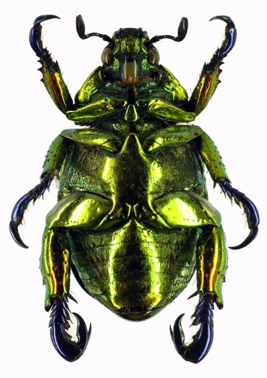 Pelidnota sumptuosa 28448cz51.jpg