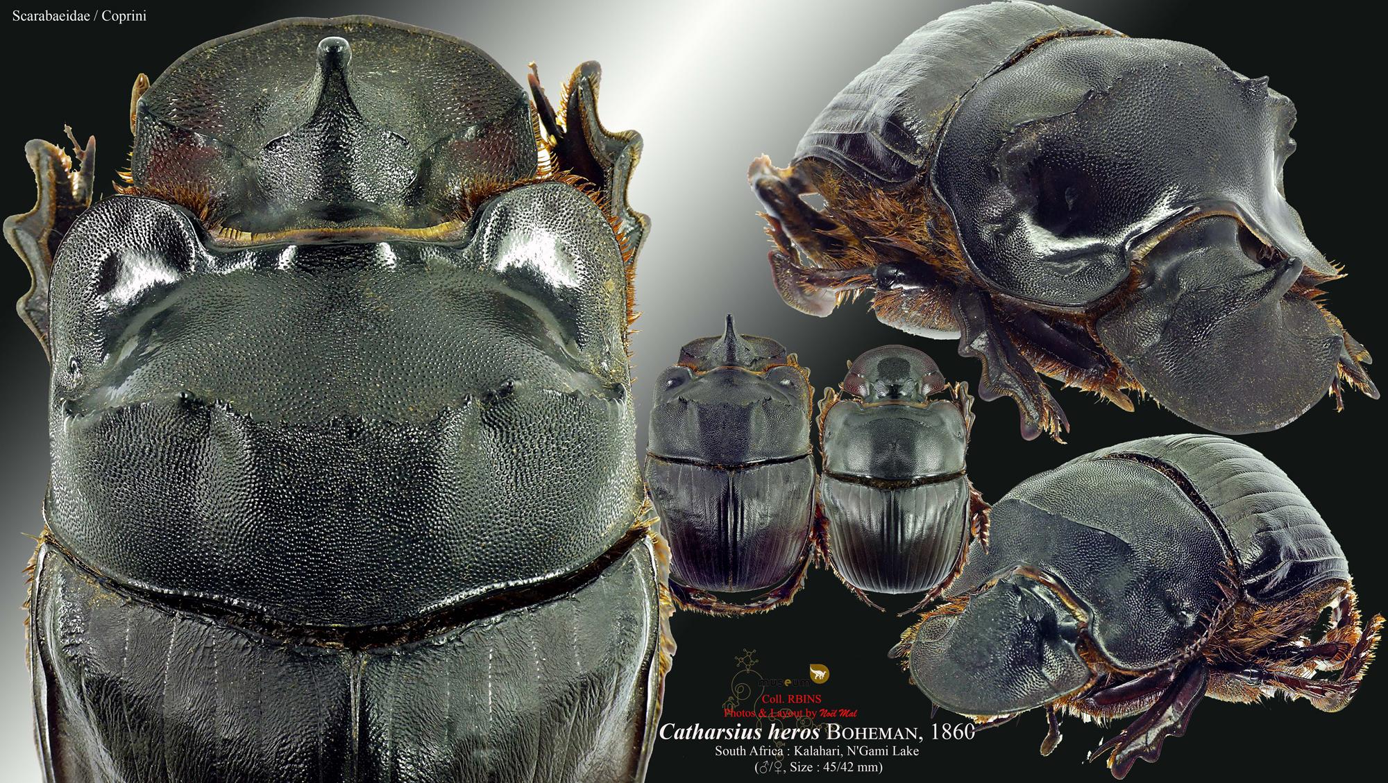 Catharsius heros.jpg