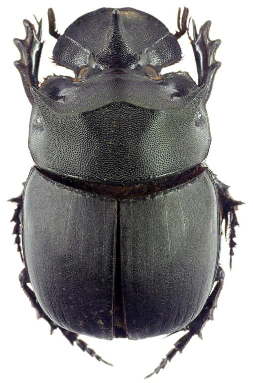 Catharsius molossus 12793cz98.jpg