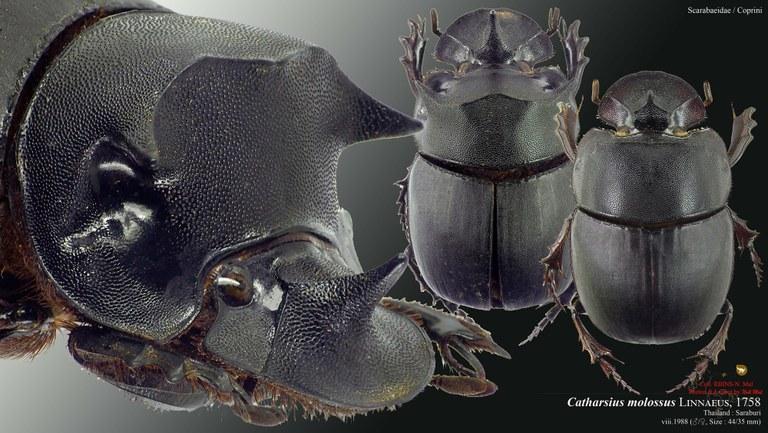 Catharsius molossus.jpg