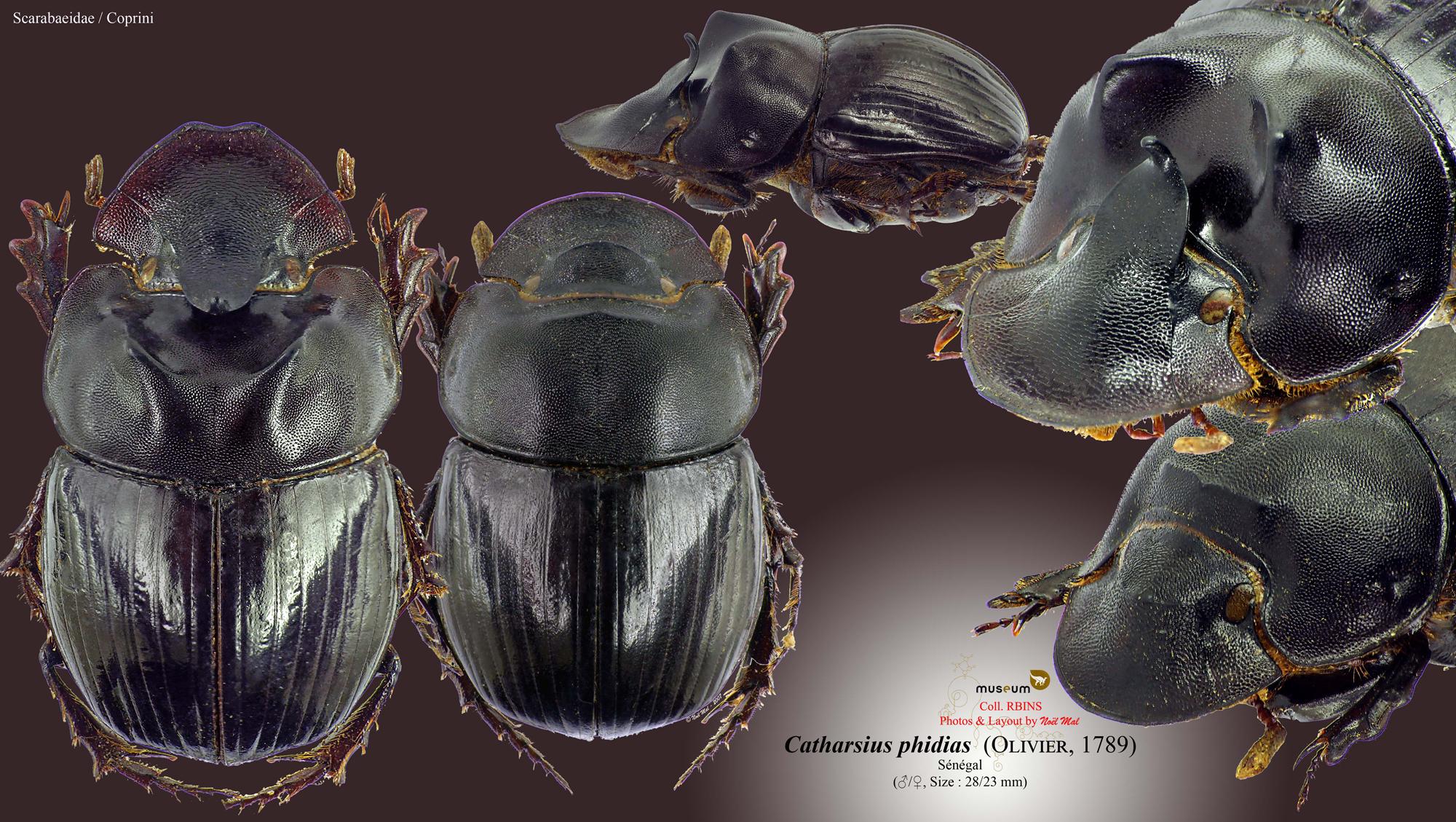 Catharsius phidias.jpg