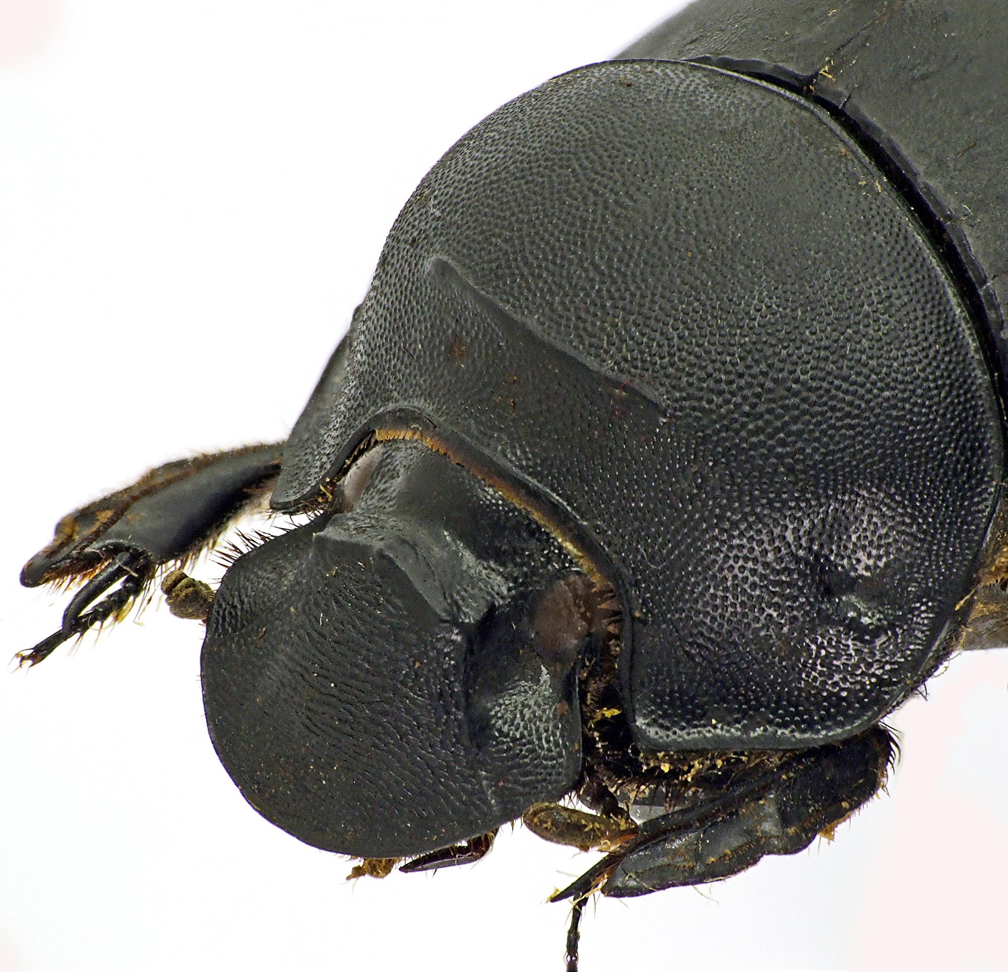 Catharsius rhinoceros 41266cz71.jpg