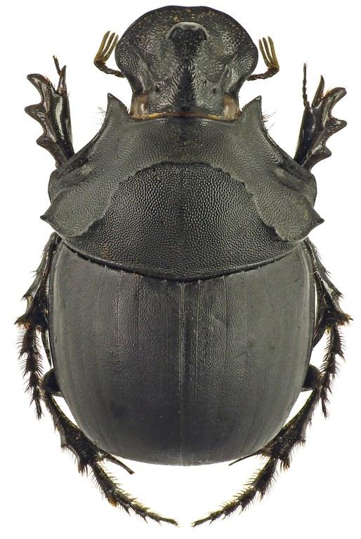 Catharsius rhinoceros 41244cz50.jpg