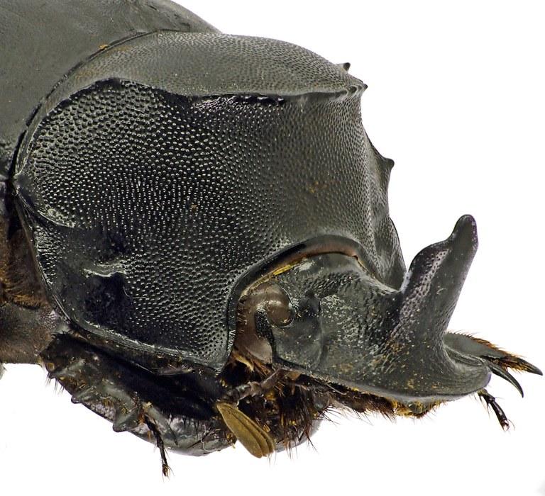 Catharsius rhinoceros 41251cz60.jpg