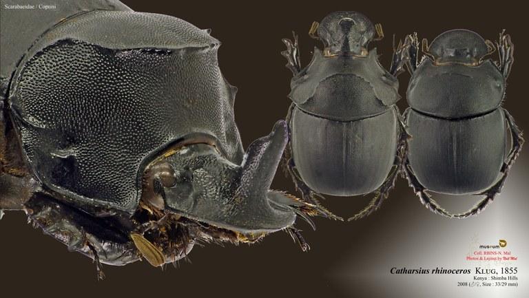 Catharsius rhinoceros .jpg