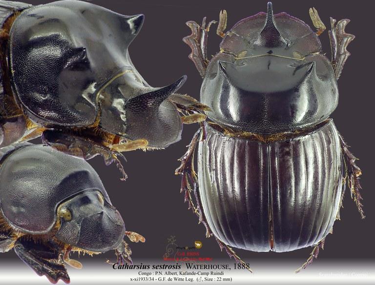 Catharsius sesostris.jpg