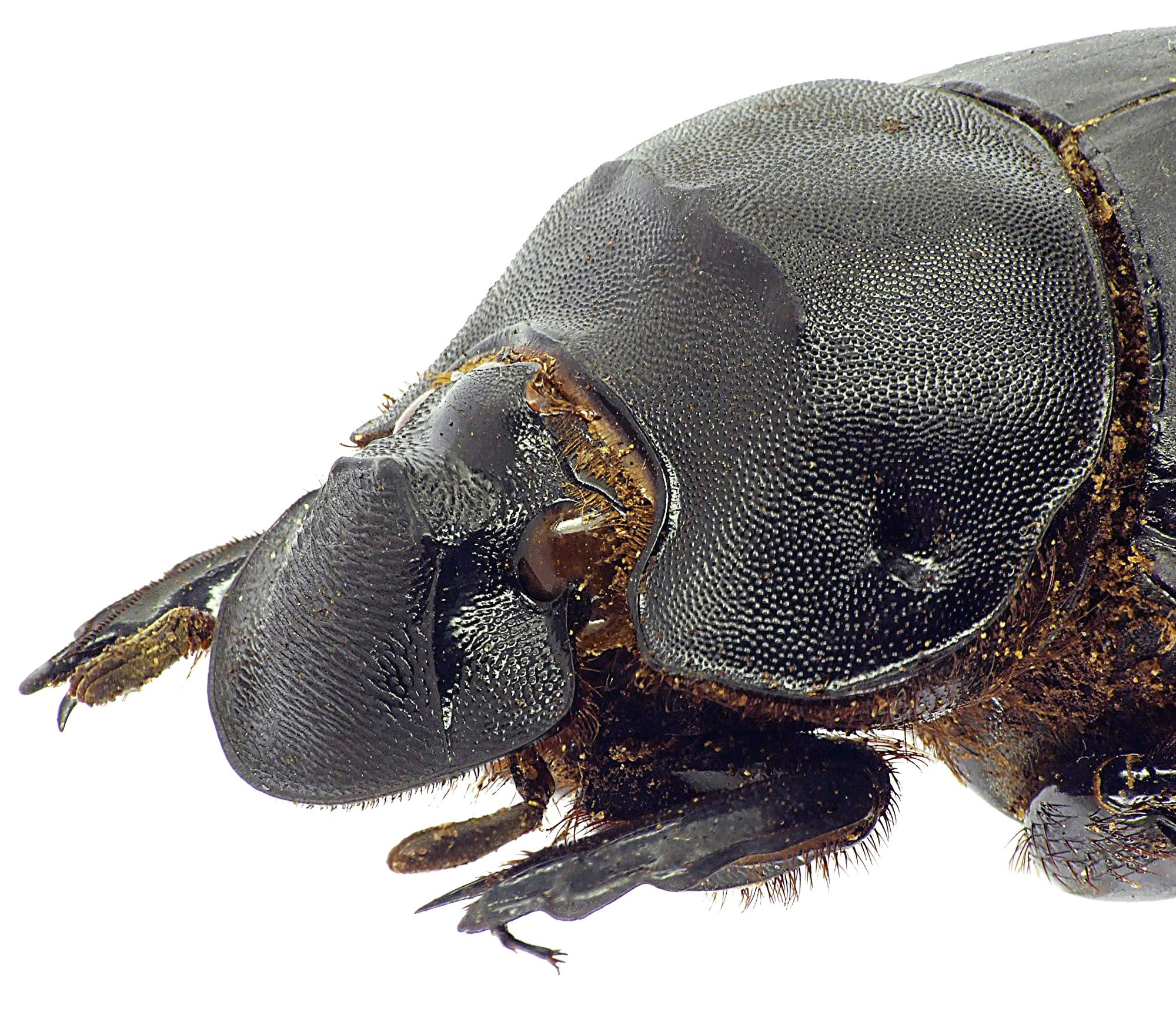 Catharsius spectabilis 12816cz25.jpg