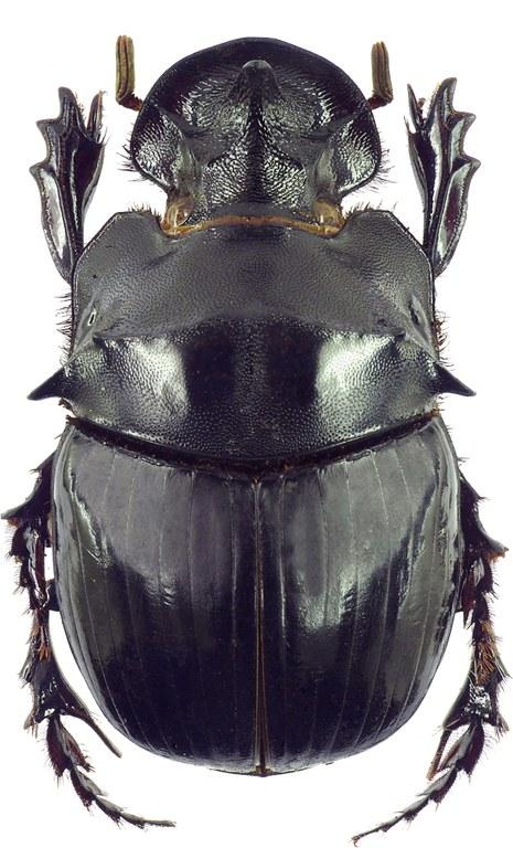 Catharsius spectabilis 12786cz92.jpg