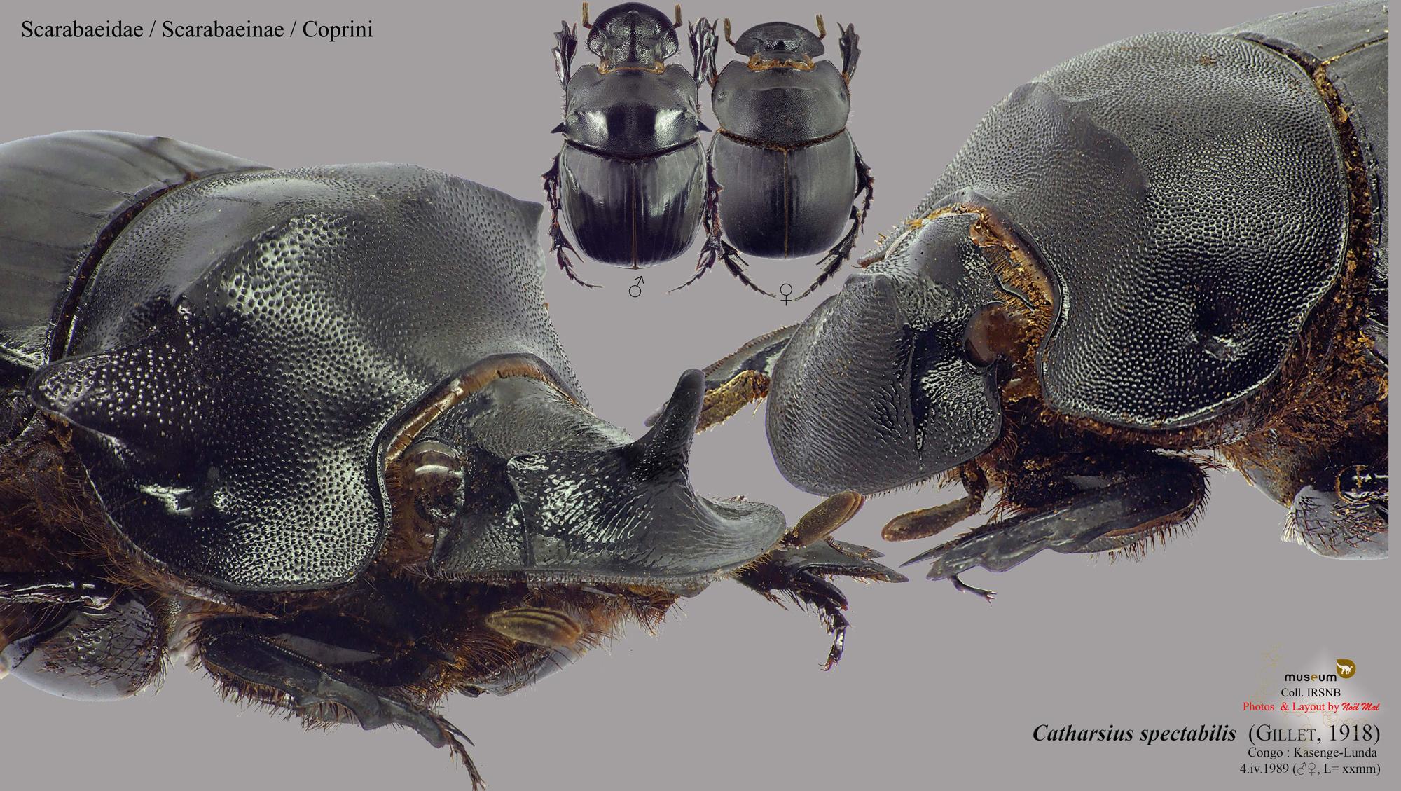 Catharsius spectabilis.jpg
