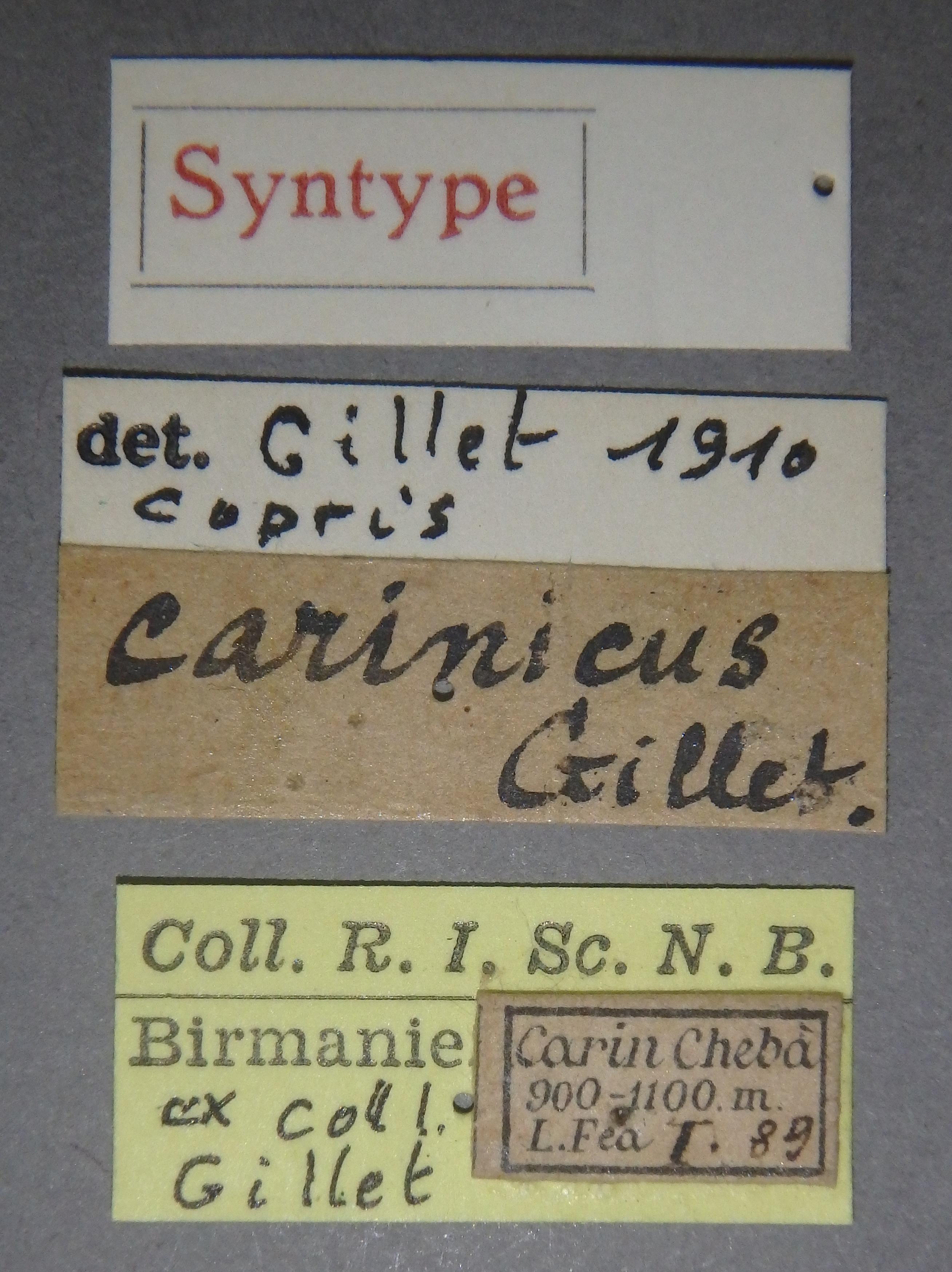 Copris carinicus st F Lb.JPG