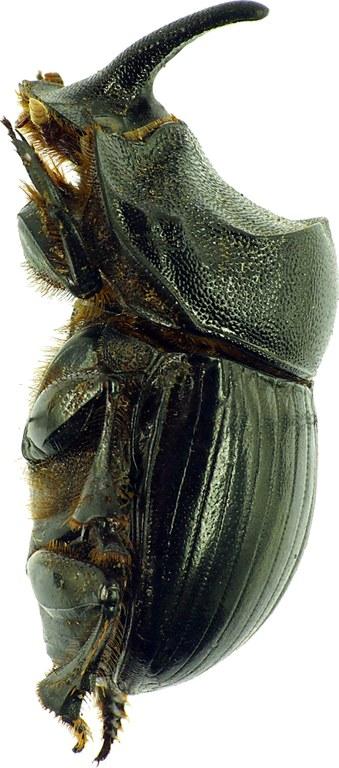 Copris hispanus hispanus 12094cz02.jpg