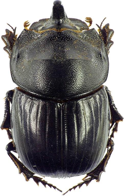 Copris hispanus hispanus 12118cz26.jpg