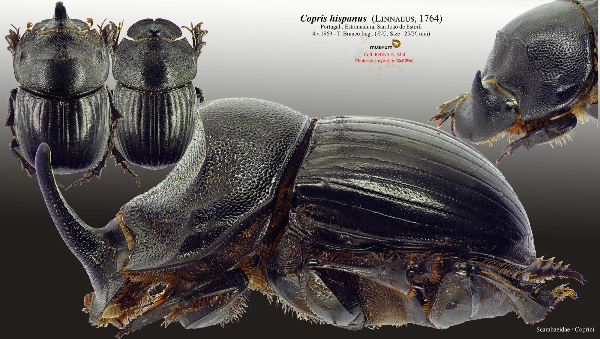 Copris hispanus hispanus.jpg