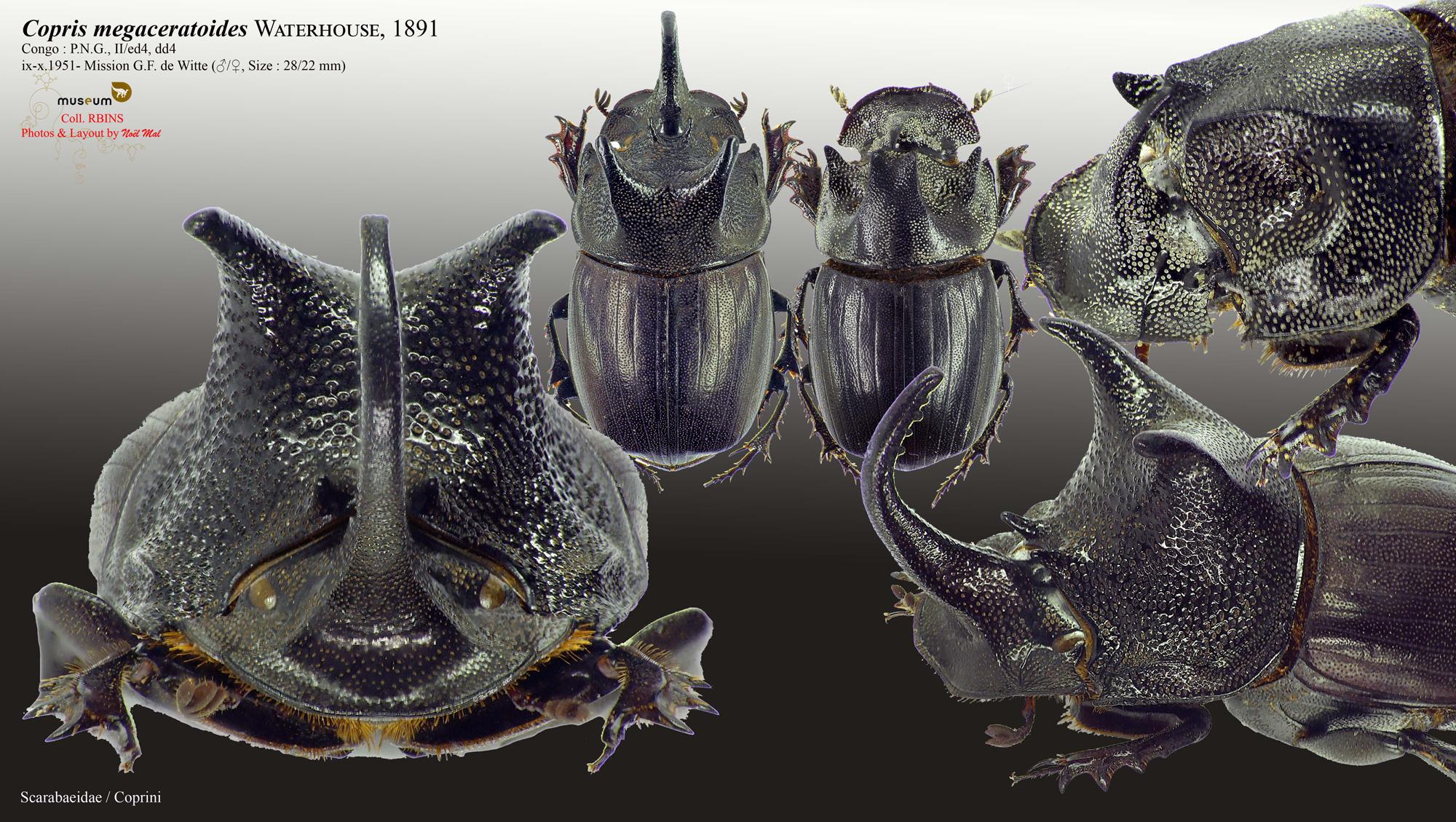 Copris megaceratoides.jpg
