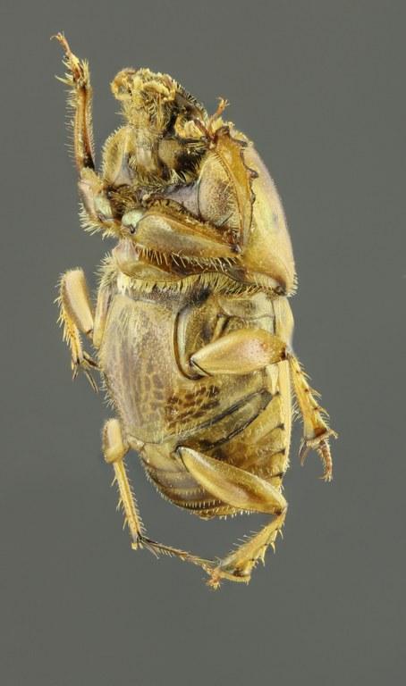 Euoniticellus fulvus 63230zs59.JPG