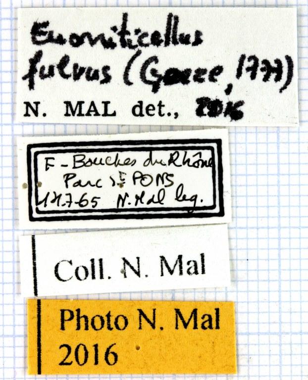 Euoniticellus fulvus 63358.jpg