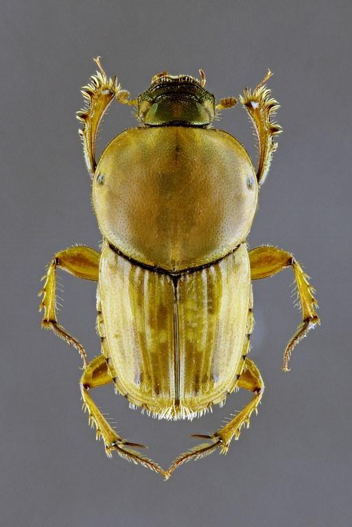 Euoniticellus fulvus M 63211zs29.jpg