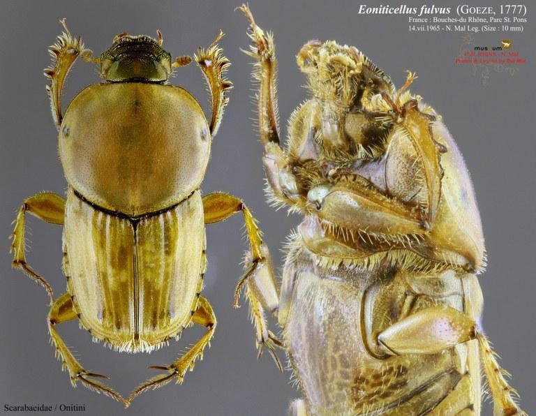 Euoniticellus fulvus PL.jpg