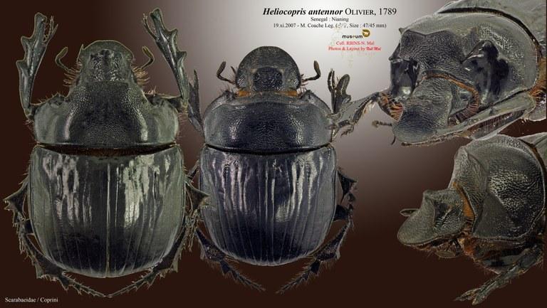 Heliocopris antenor .jpg