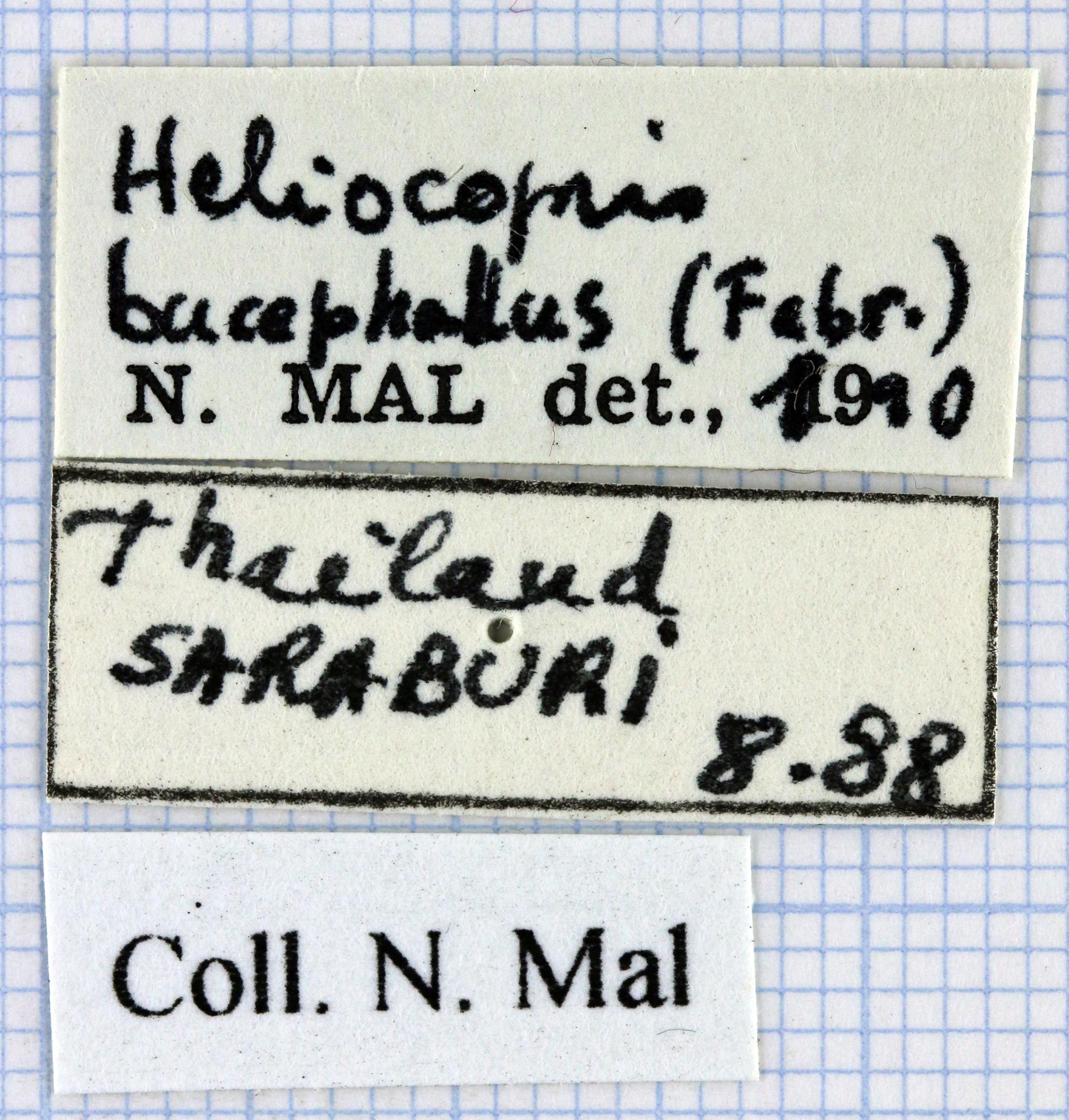 Heliocopris bucephalus 36619.jpg