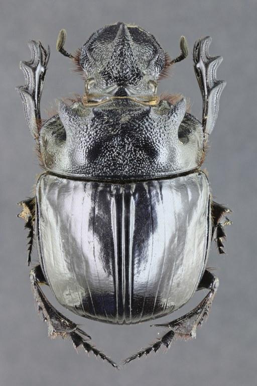 Heliocopris bucephalus 36547zs59.jpg