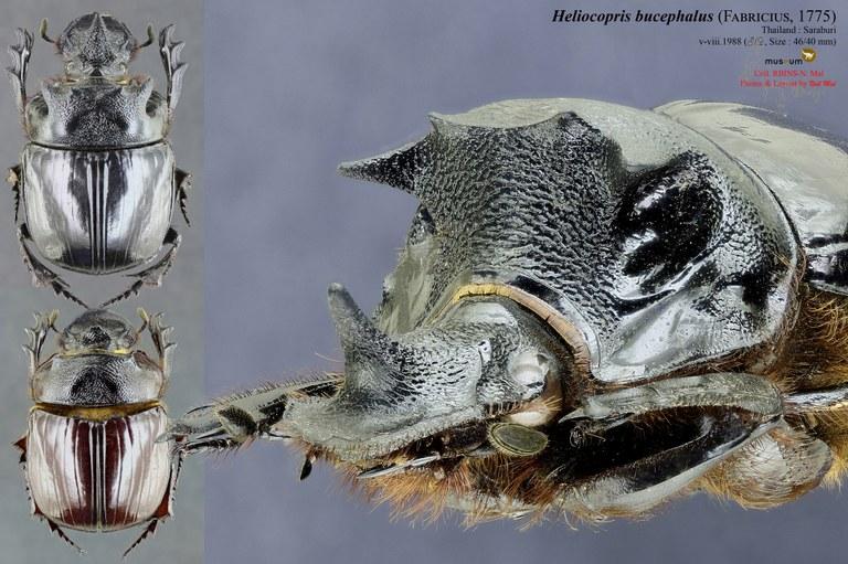 Heliocopris bucephalus .jpg