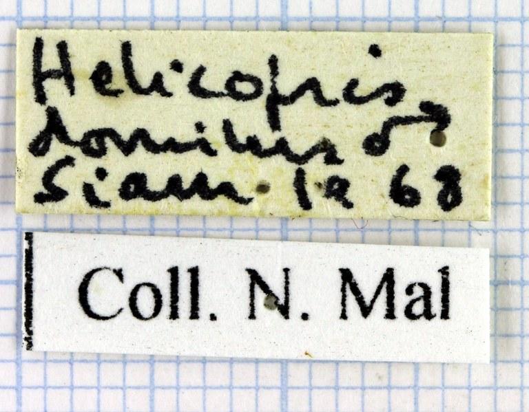 Heliocopris dominus 36833.jpg
