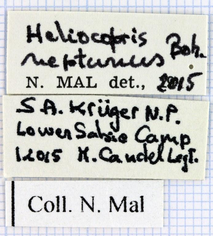 Heliocopris neptunus 36433.jpg