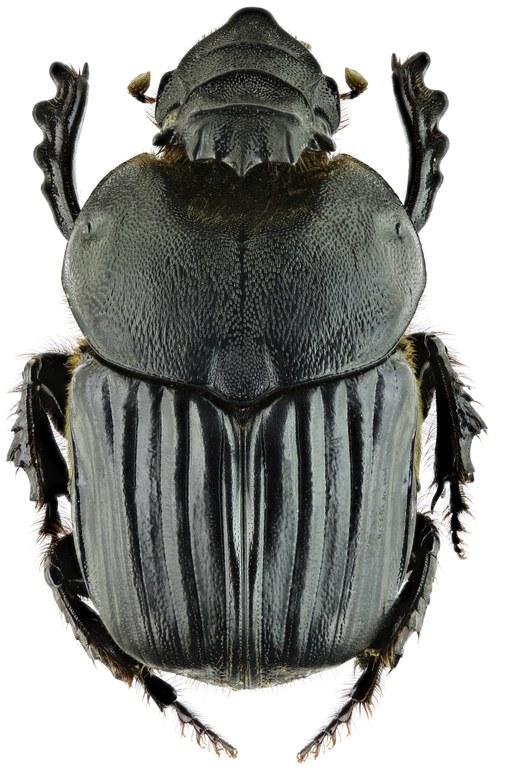 Heteronitis castelnaui 13797zs08.jpg