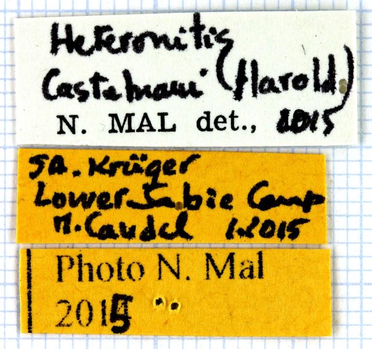 Heteronitis castelnaui label 63209.jpg