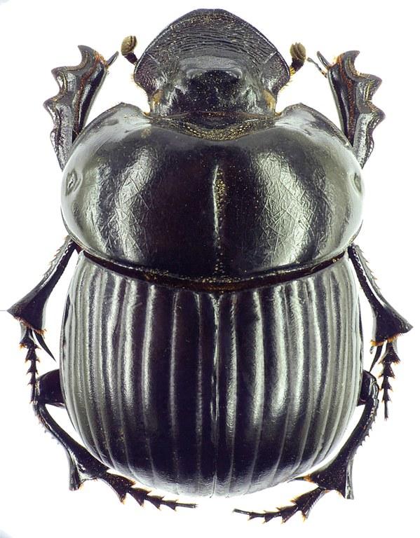 Holocephalus eridanus 23125cz29.jpg