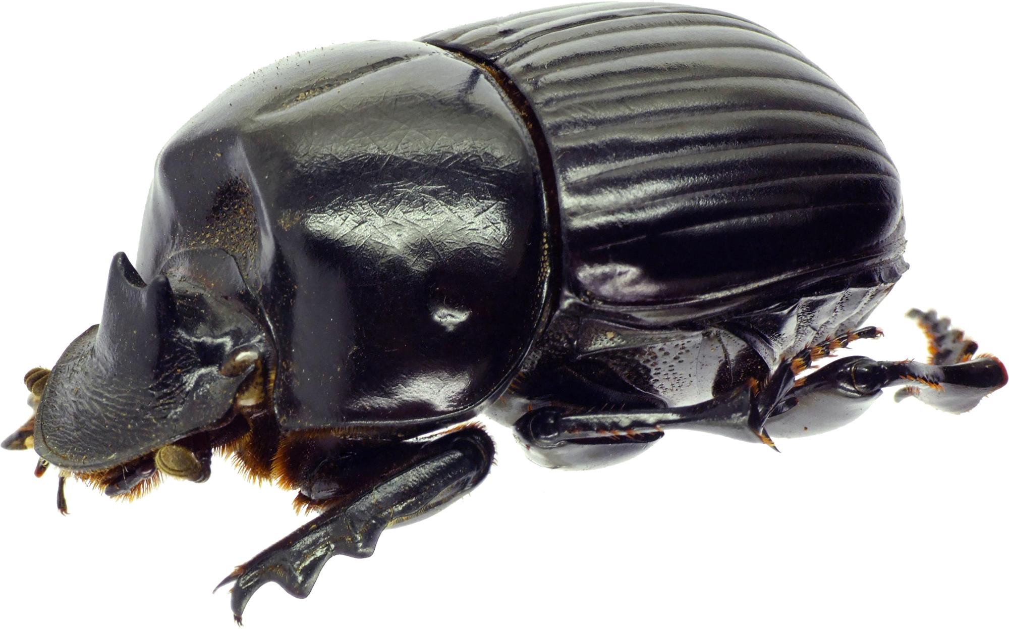 Holocephalus eridanus 23130cz33.jpg