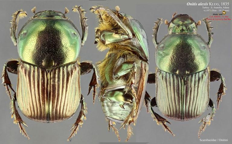 Onitis alexis.jpg