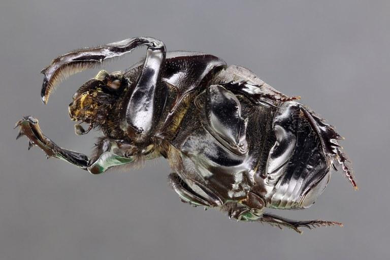 Onitis belial 62047zs70.JPG