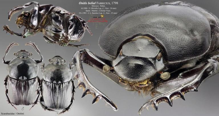 Onitis belial PL.jpg