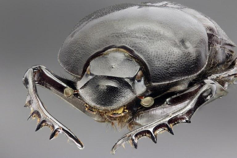 Onitis belial portrait.jpg