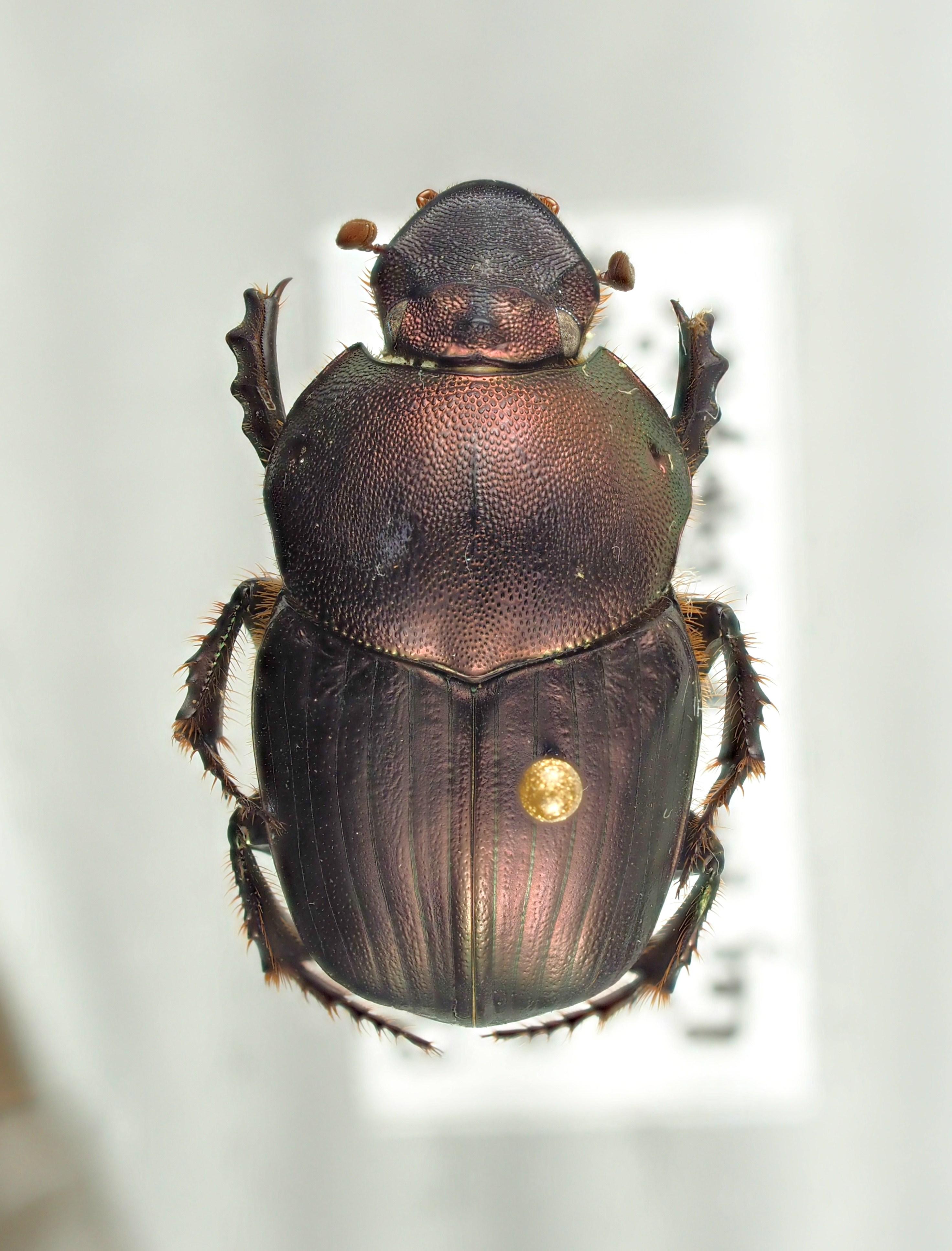Onitis meruensis male major of Brussel PA202331.JPG