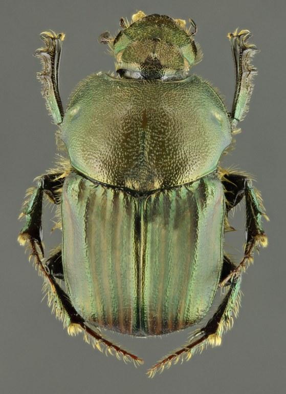 Onitis numida 63589zs03.jpg