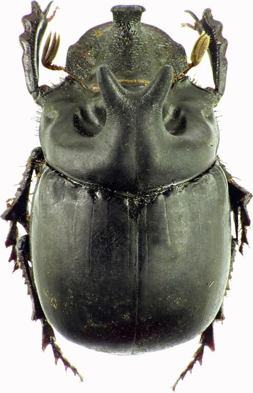Pinotus diabolicus 27865cz75.jpg