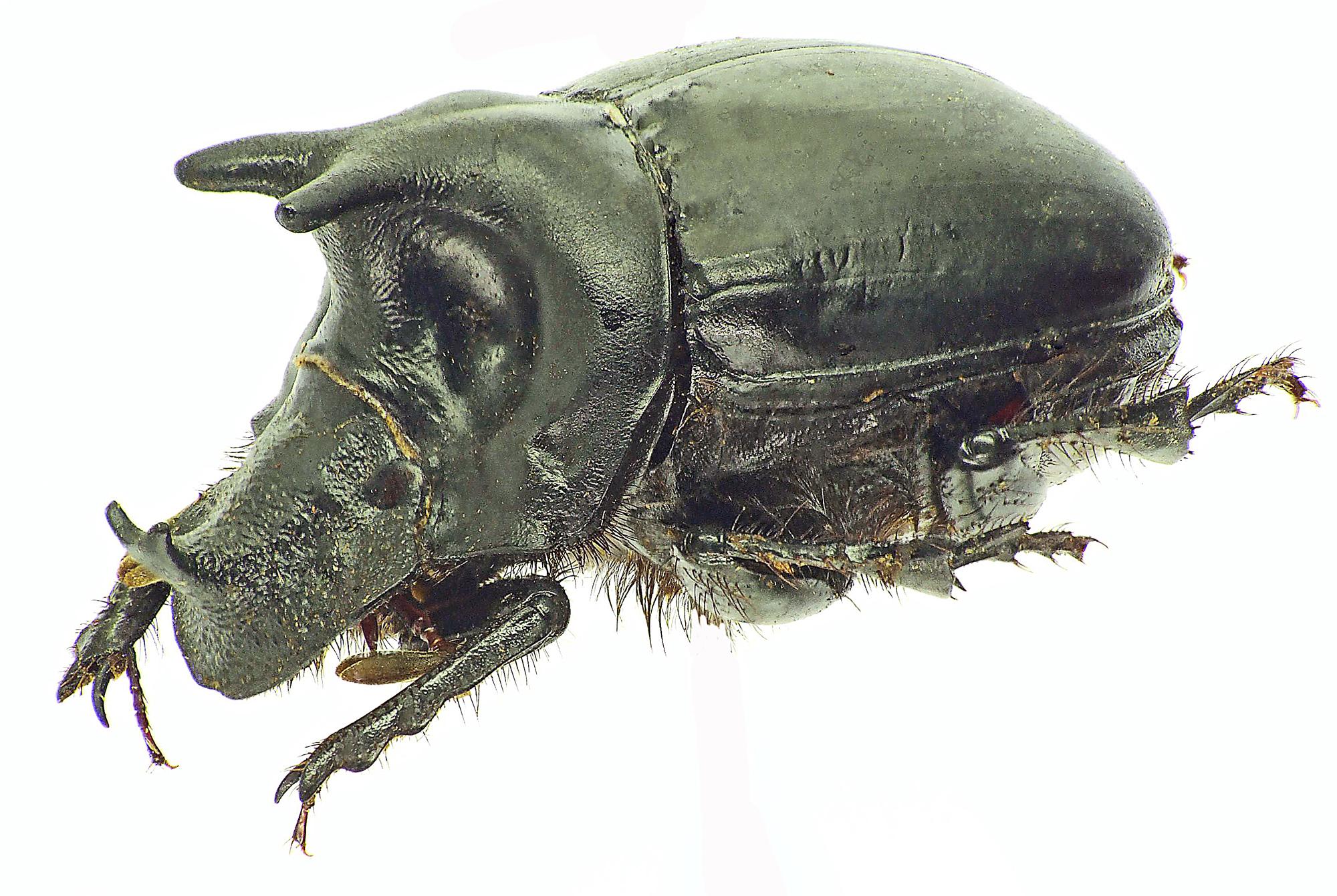 Pinotus diabolicus 27876cz85.jpg