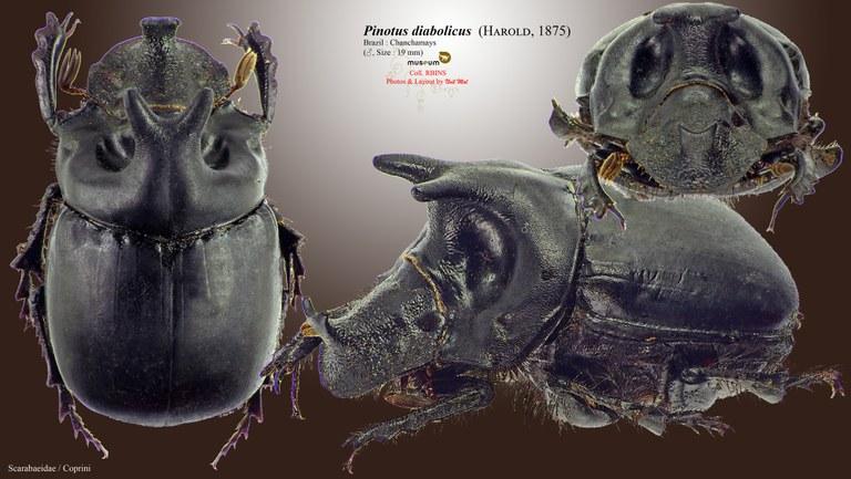 Pinotus diabolicus.jpg