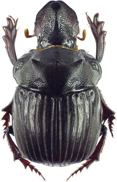 Pinotus monstrosus 27900cz10.jpg