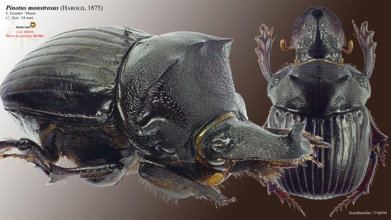 Pinotus monstrosus.jpg