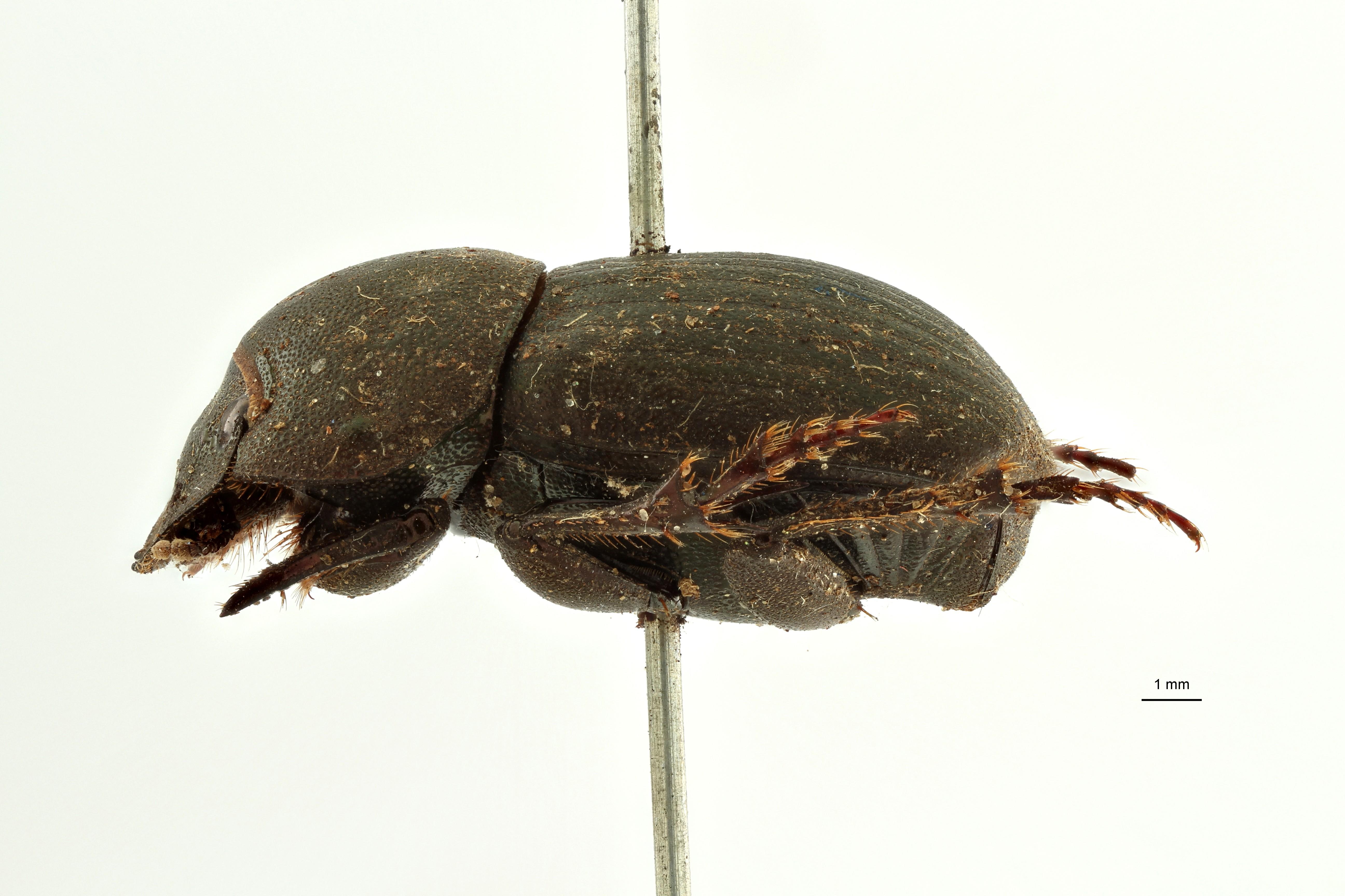 Pseudopedaria grossa t L ZS PMax Scaled.jpeg
