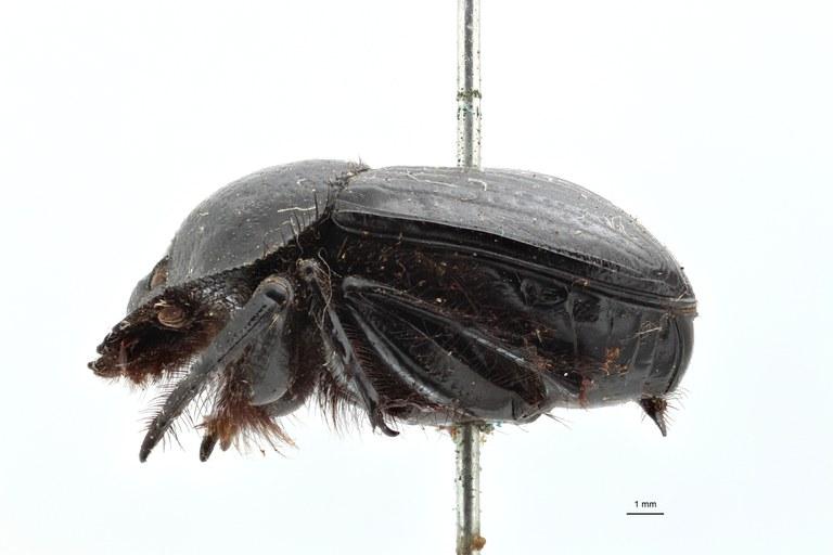 Scarabaeus funebris variety pretoriensis type L ZS PMax.jpg